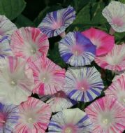Morning Glory 'Carnevale di Venezia' 20 Seeds